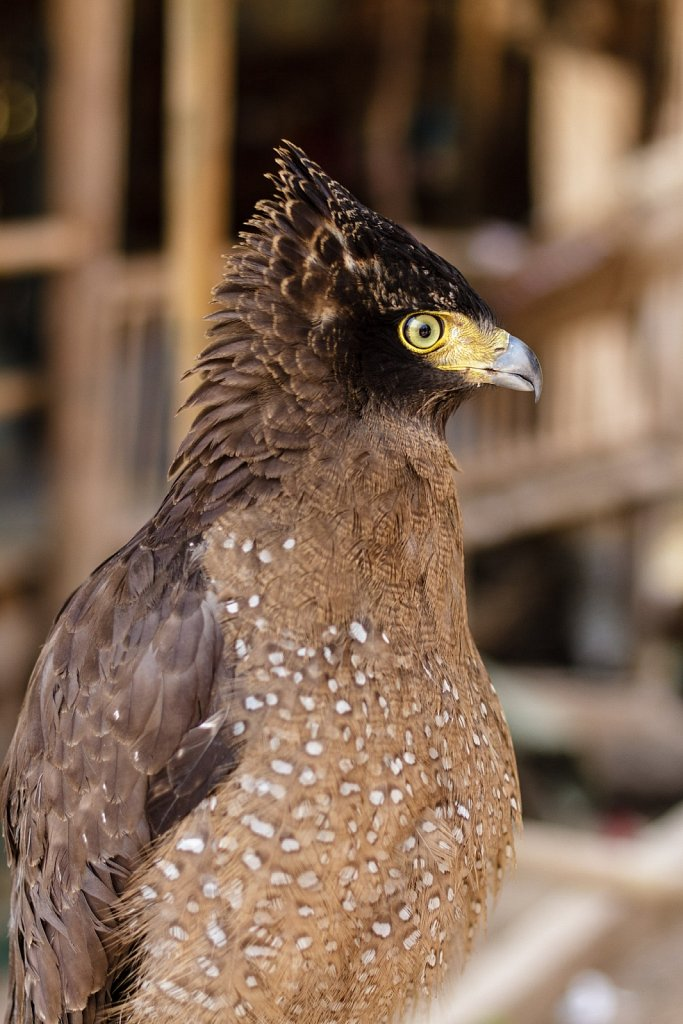 pet hawk